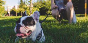 Foto perro Bulldog
