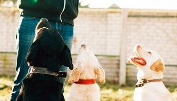 |curso adiestramiento canino asturias